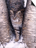 Bobcat in the snow in Montana