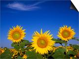 Sunflower Crop in Full Bloom