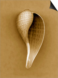 Graceful Fig Shell