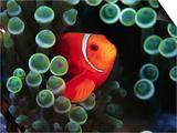 Spine-Cheek Anemonefish and Sea Anemone
