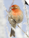 Male house finch on hoarfrost-covered tree in winter