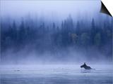 Moose Swimming in Bowron Lake Provincial Park  British Columbia  Canada