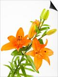 Orange lilies