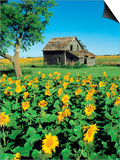 Sunflower Field  Old House  Beausejour  Manitoba  Canada