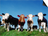 Line of Cows in Pasture