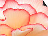 Petals of a Hydrangea