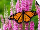 Monarch Butterfly (Danaus Plexippus) Nectaring on Speedwell Plant (Veronica Officinalis) in Flower