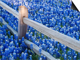 Bluebonnets Along Fenceline