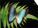 Blue Common Morpho Butterfly on Fern Frond