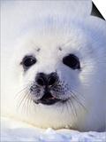 Week-old Harp Seal (Phoca Groenlandica) Pup (whitecoat)  Gulf of the St Lawrence River  Canada