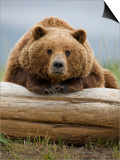 Grizzly Bear Leaning on Log at Hallo Bay