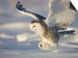 Snowy Owl in Flight Hunting