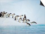 Gentoo Penguins Jumping Off Iceberg into Gerlache Strait