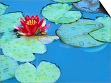 Lily Pads and Flower Blossom
