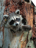 Raccoon Inside Hollow Log
