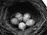 Bird Eggs in Nest