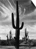Saguaros  Arizona