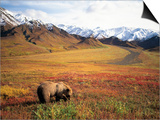 Grizzly Bear Foraging on Colorful Tundra