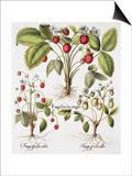 Three Varieties of Strawberry