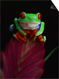 Red-Eyed Tree Frog Perched on Plant