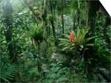 Bromeliads in a Puerto Rican Rainforest