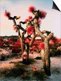Joshua Trees in Bloom