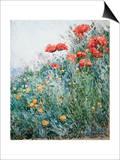 Poppies  Appledore