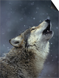 Gray Wolf Howling in Snowfall