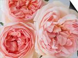 Sharifa Roses