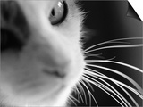 Cat's Head
