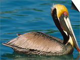 Male Brown Pelican in Breeding Plumage  Mexico
