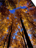 Blue Sky Through Sugar Maple Trees in Autumn Colors  Upper Peninsula  Michigan  USA