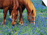 Horses Grazing Among Bluebonnets