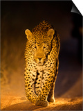Leopard at Night  Sabi Sabi Reserve  South Africa