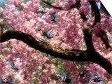 Cherry Blossom Tree in Bloom  Tokyo  Japan