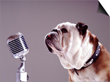 Bulldog Preparing to Sing into Microphone