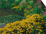 Black-Eyed Susans  Rudbeckia Hirta  and Joe Pye Weed  Holden Arboretum  Cleveland  Ohio  USA