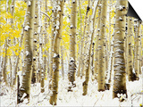 Aspen Grove in Winter