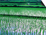 Rice Cultivation  Bali  Indonesia