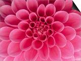 Hot Pink Dahlia Flower