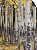 Quaking Aspen in Fall  Rocky Mountain National Park  Colorado  USA