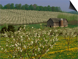Old Barn Next to Blooming Cherry Orchard and Field of Dandelions  Leelanau County  Michigan  USA