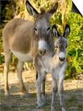 Mother and Baby Donkeys on Salt Cay Island  Turks and Caicos  Caribbean