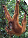 Juvenile Orangutan Swinging Between Branches in Tanjung National Park  Borneo