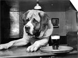Bryan the St Bernard Dog Enjoys a Pint  February 1956
