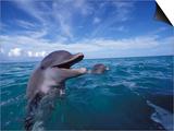 Bottlenose Dolphins  Caribbean