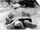 Tank the Giant Tortoise  London Zoo  180 Kilos  80 Years Old  on Top is Tiki a Small Tortoise