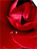 Red Rose  American Beauty  with Tear Drop  Rochester  Michigan  USA