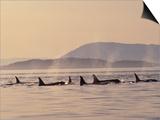 Orca Whales Surfacing in the San Juan Islands  Washington  USA