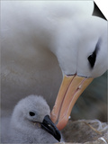 Black-Browed Albatross Preening Chick in Nest  Falkland Islands